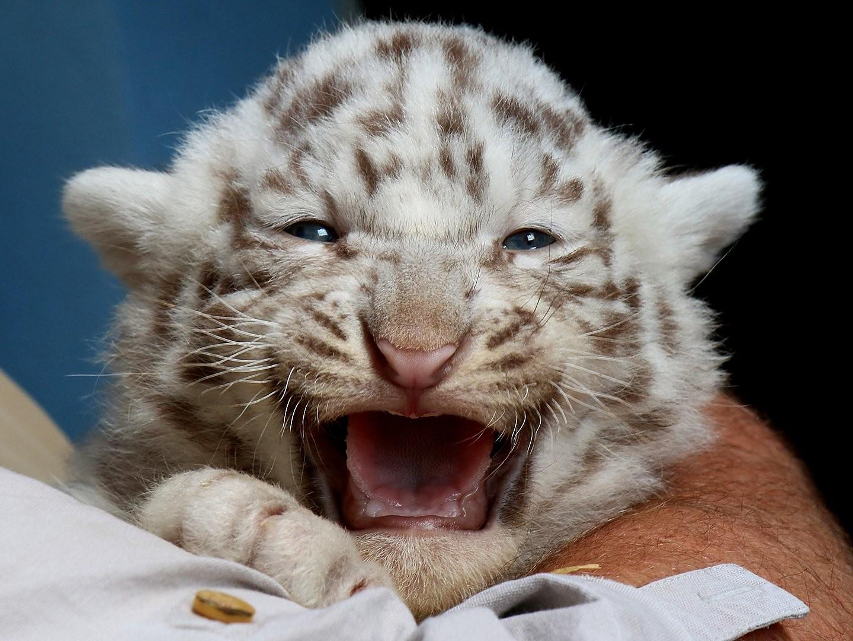 white tiger cubs
