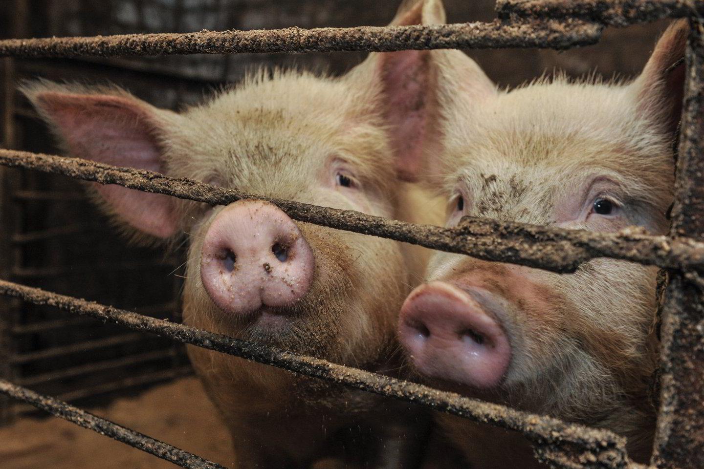 Per metus Lietuvoje užauginama maždaug 700 tūkst. kiaulių.<br>V.Ščiavinsko nuotr.