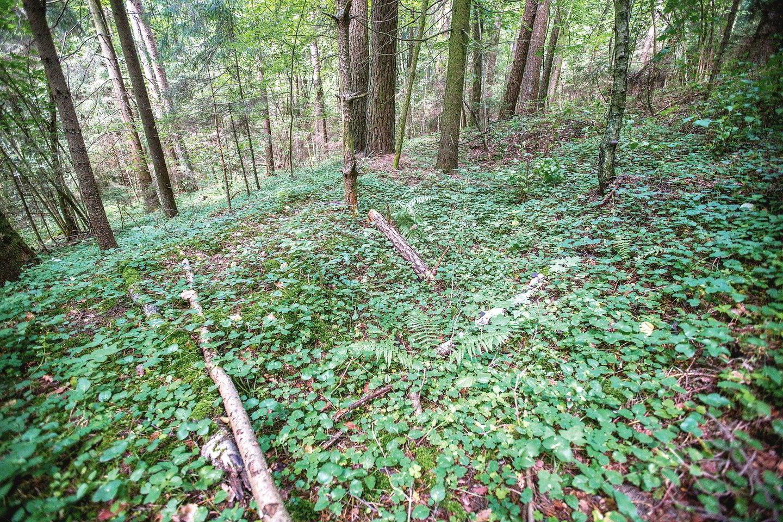 Trys šimtai metrų nuo Gariūnų kaimo esančio piliakalnio šlaitai apaugę medžiais, dėl to jį pastebėti sunku.<br>V.Balkūno nuotr.