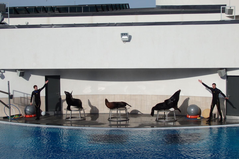 Saulės įlankoje – jūrų liūtų pasirodymas.<br>A.Pilaitienės nuotr.
