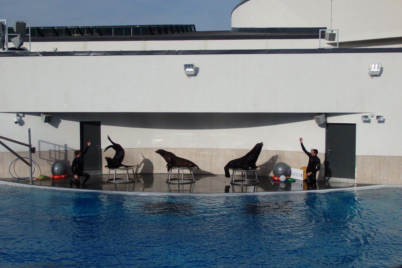 Jūrų liūtams netrūksta dėmesio.<br>A.Pilaitienės nuotr.