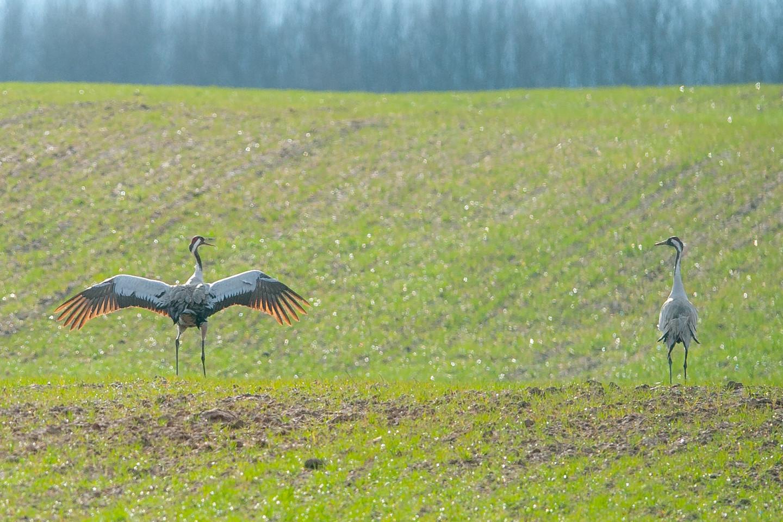 Gervės Lietuvoje nebėra reti paukščiai.<br>V.Ščiavinsko nuotr.