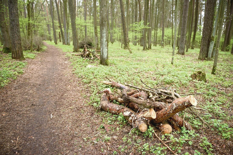 Ne visa iškirsta mediena išvežama iš parko teritorijos – daug stuobrių palikti, kad čia supūtų.