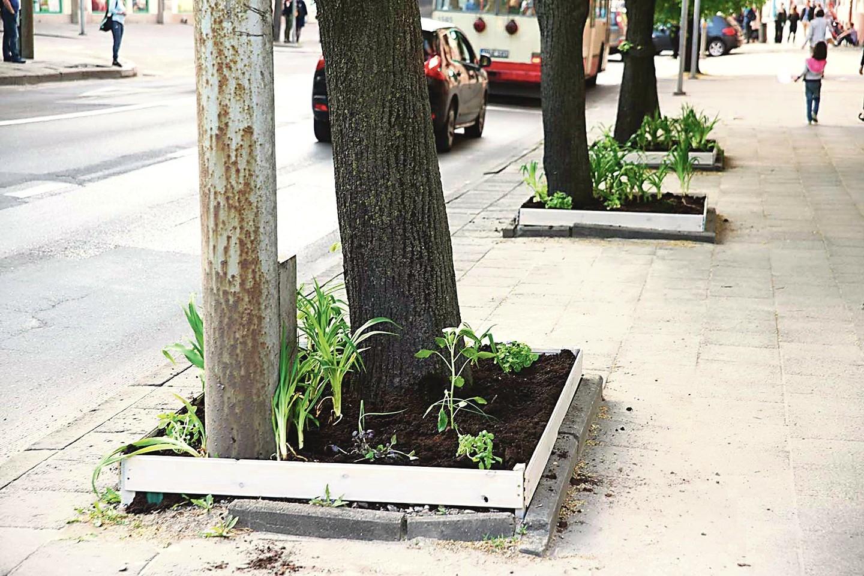 S.Paukštys ketvirtadienį pasodino pirmąsias daržoves į keturis savo sukastus daržus ant Pylimo gatvės šaligatvio. Jis tai nusižiūrėjo JAV (nuotr. dešinėje).<br>R.Kvietkienės nuotr.