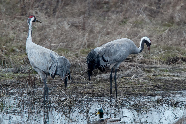 Ornitologai spėja, kad pulkuose, suskrendančiuose į Tyrelio pelkę, gali būti iki 250 tūkst. gervių.<br>V.Ščiavinsko nuotr.