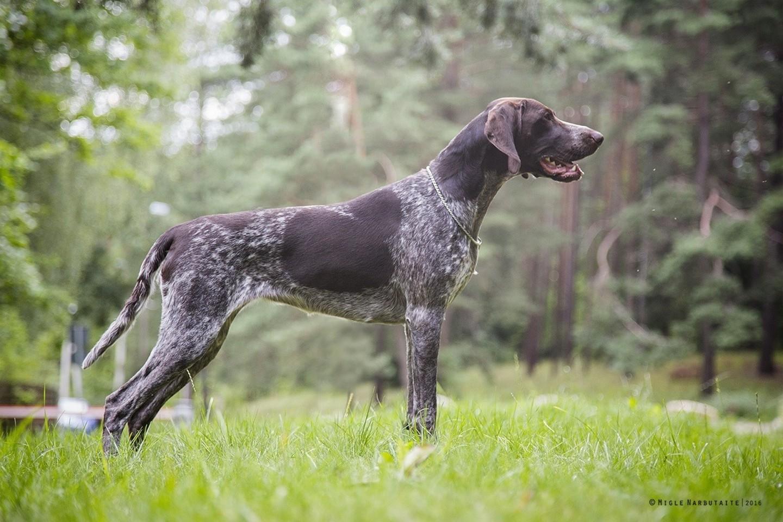 german shorthaired pointer puppies missouri - HD1024×818