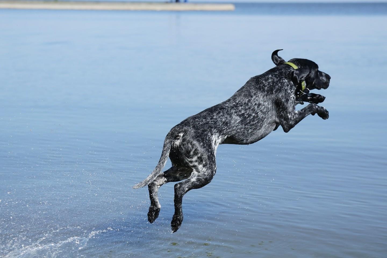 Kurtsharas yra vidutinio dydžio lygiaplaukis, universalus medžioklinis šuo, kitaip dar vadinamas trumpaplaukiu vokiečių pointeriu.<br>M. Narbutaitės nuotr.