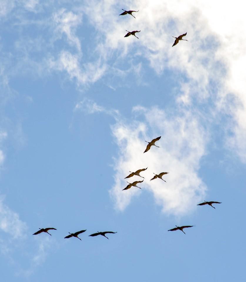 Pakėlę akis į dangų žmonės nustebo pamatę, kad triukšmą sukėlė pulkas parskrendančių gervių.<br>V.Ščiavinsko nuotr.