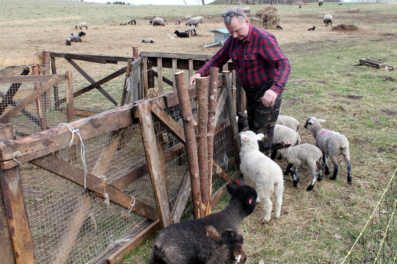 Ūkininkauti dar 1988 metais pradėjusio V.Kondrato avių ūkis yra didžiausias Lietuvoje ir Batijos šalyse.