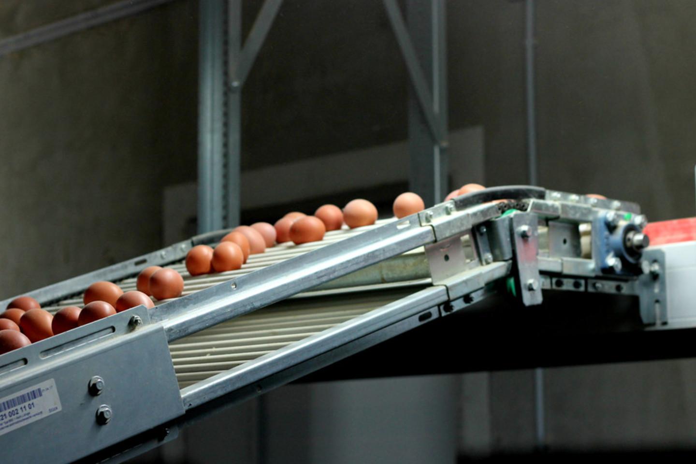 Įmonė Šilutės rajone Vilkyčiuose atidarė iš pagrindų atnaujintą vištidę, kurioje vištos iš narvų perkeltos gyventi laisvai ant kraiko.<br>Įmonės nuotr.