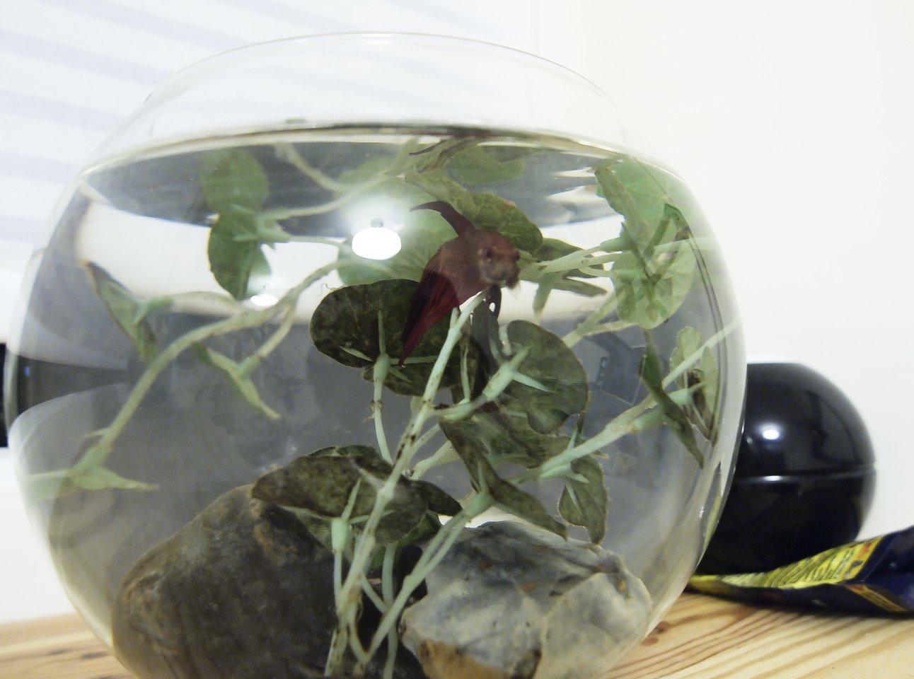 Jei auginate akvariumo žuvytes, kai keisite vandenį, jo neišpilkite į kriauklę.<br>V.Ščiavinsko nuotr.