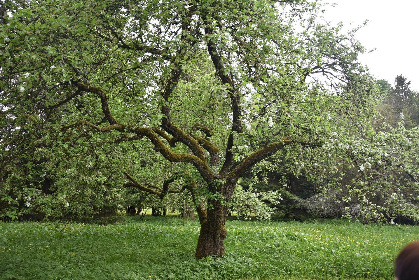 T.Ivanausko sukurtame Obelynės parke, esančiame greta Kauno, auga Beržininkų ananasų veislės obelis, vadinama sodų motinėle.<br>A.Srėbalienės nuotr.
