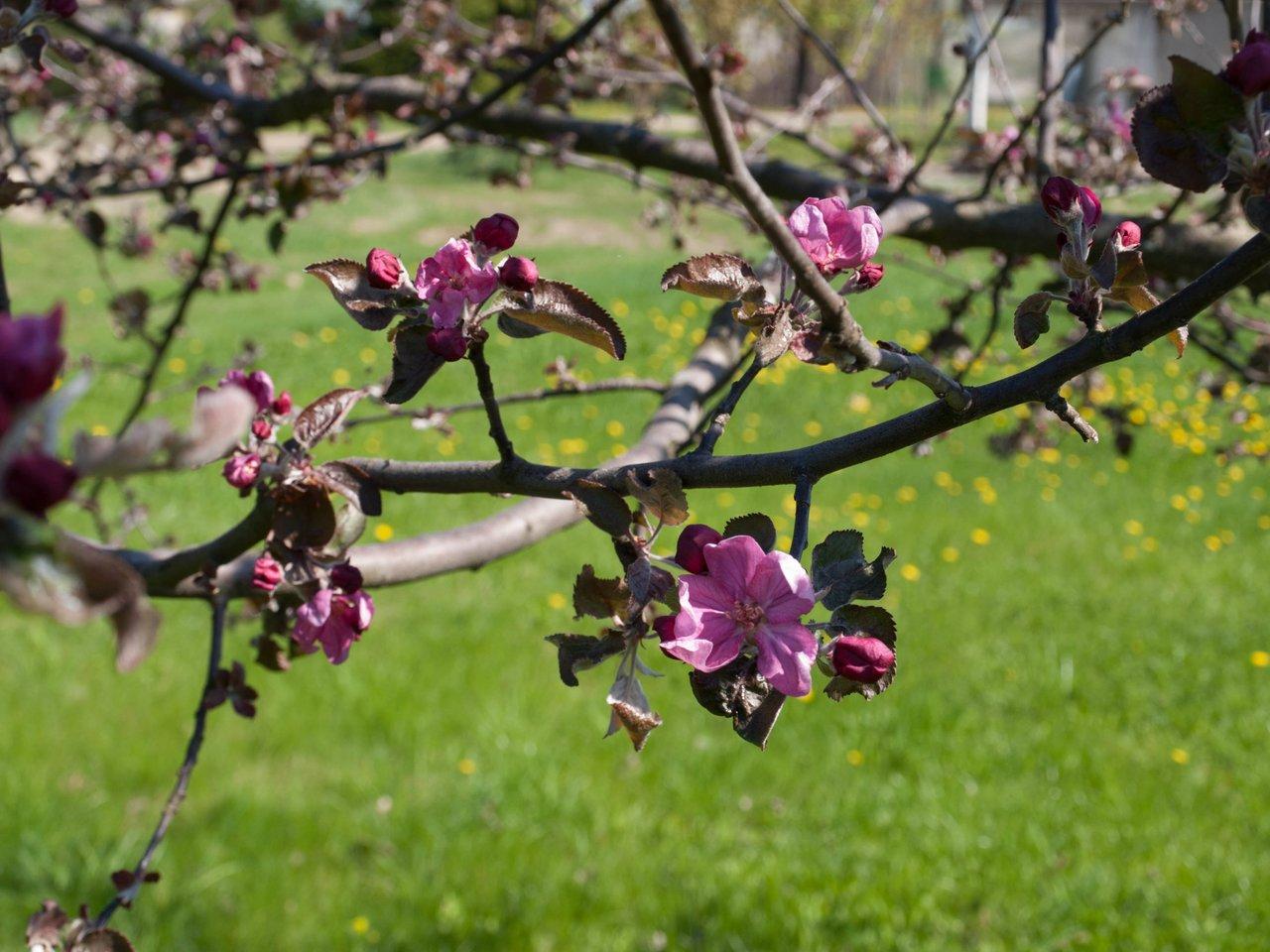 Šios laukinės obels sodinukas išdygo iš paukščių numestų sėklų. <br>A.Srėbalienės nuotr.