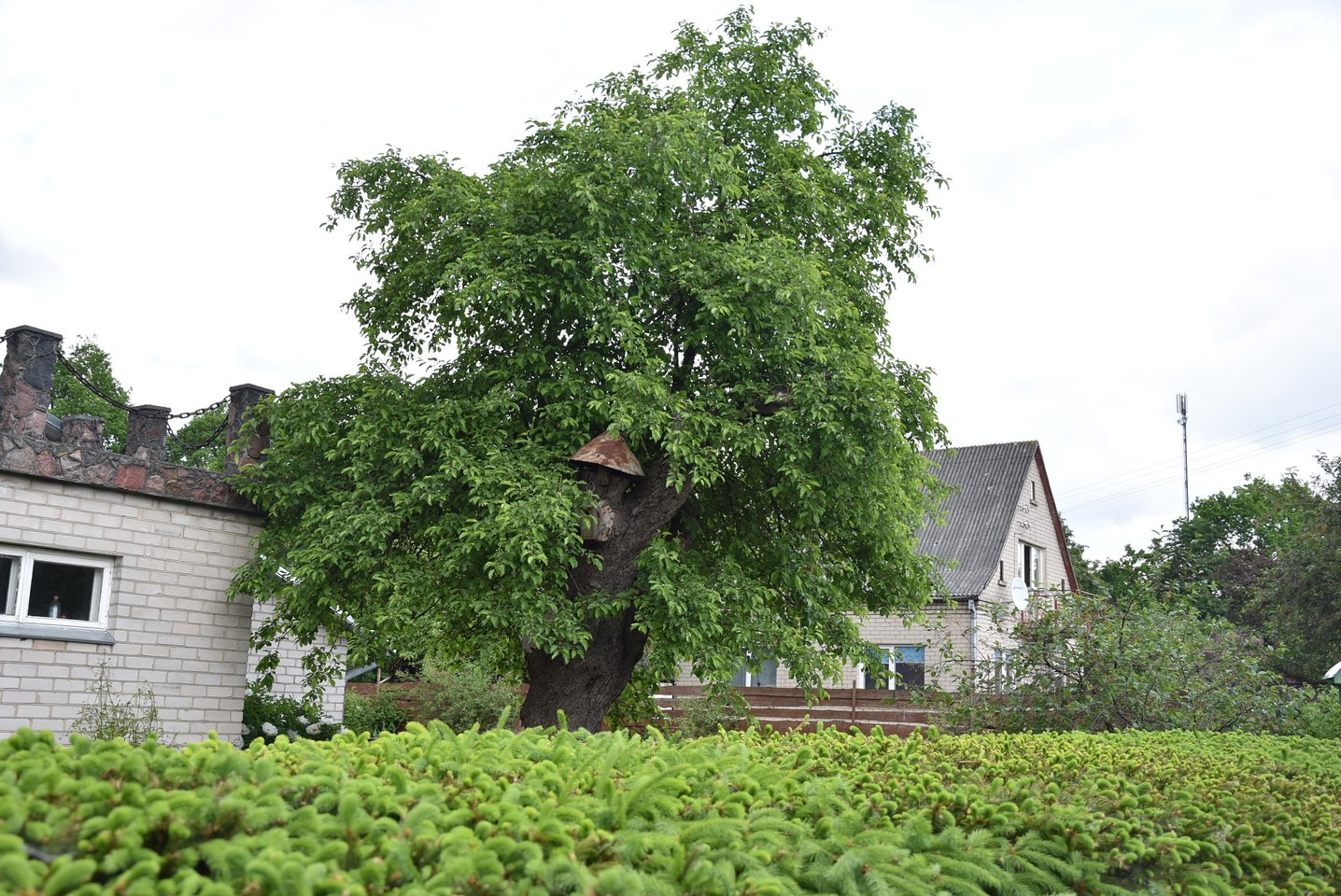 Seniausia Lietuvoje obelis auga Kaune, Aleksote. Jai apie 360 metų.<br>A.Srėbalienės nuotr.