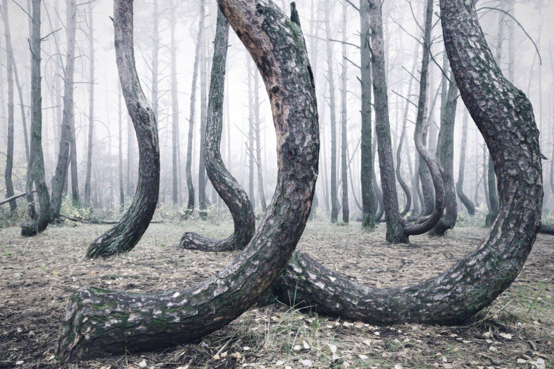 Anot pačio fotografo, medžiai galėjo būti pasodinti specialiai tam, kad augtų lenktai, nes iš tokios medienos yra patogiau gaminti laivus, supamąsias kėdes ir roges.<br>Kilian Schoenberger nuotr.