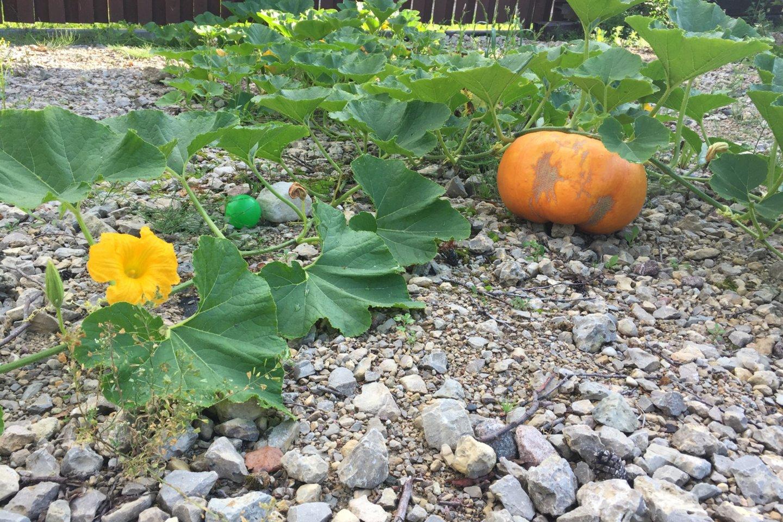 Trijuose aruose išguldytame R.Žemaitaičio darže daug įvairų daržovių.<br>S.Trinkūnaitės nuotr.