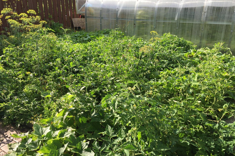 Šiemet pirmieji pomidorai prisirpo lauke, ne šiltnamyje.<br>S.Trinkūnaitės nuotr.