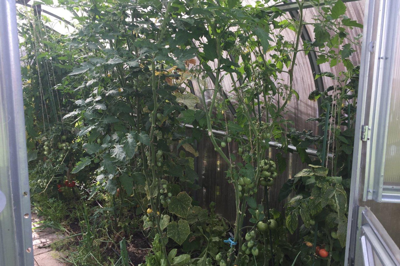 R.Žemaitaitis augina penkių veislių pomidorus.<br>S.Trinkūnaitės nuotr.