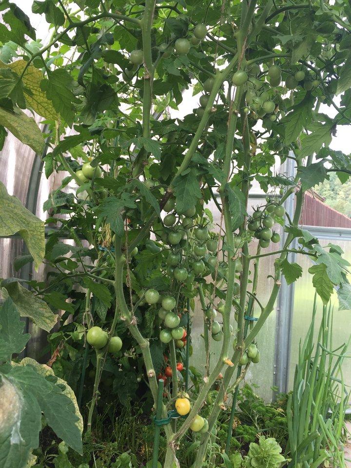 R.Žemaitaitis augina penkių veislių pomidorus.