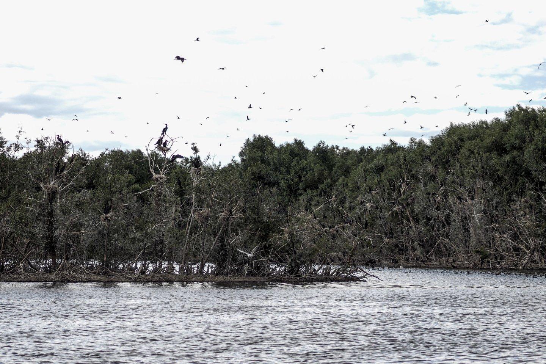 Kormoranų kolonija Rusnėje, netoli Uostadvario esančiuose apleistuose tvenkiniuose.<br>V.Ščiavinsko nuotr.