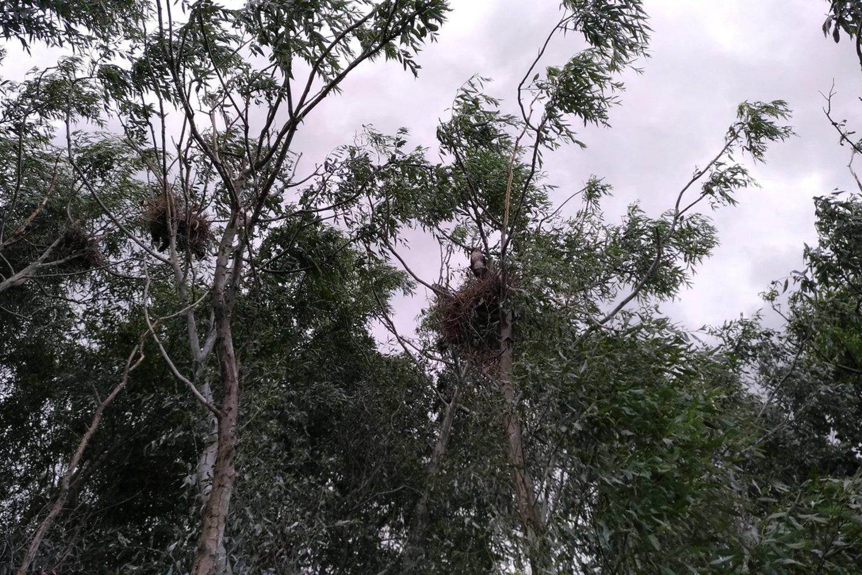 Kormoranų kolonijoje tvyro paukščių išmatų ir pūvančios, atrytos ir apvirškintos žuvies dvokas.<br>Š. Meškio nuotr.
