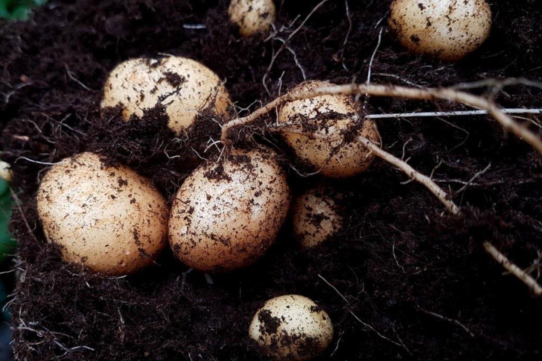 Niekada neturėsite gausaus bulvių derliaus, jeigu jų nepamaitinsite.<br>A.Tubaitės nuotr.