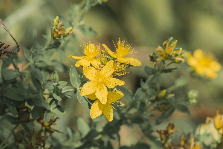 Jonažolėsdidina organizmo jautrumą saulės spinduliams.<br>123rf.com nuotr.