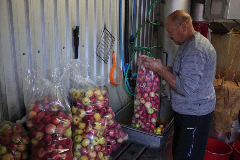 Obuolių gausa šiais metais sulčių spaudyklas privertė dirbti pamainomis.<br>E.Jankausko nuotr.