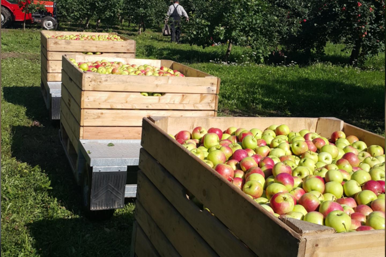 Obuoliai yra vieni populiariausių ir maistingiausių vaisių Lietuvoje.