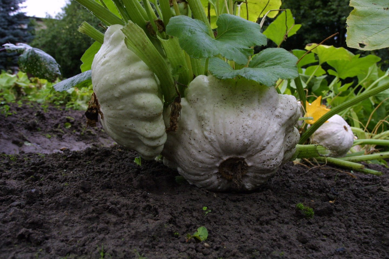 Dabar neretame mėgėjiškame sode patisonų vaisiai užauga iki kelių kilogramų ir nesumedėja, išlieka gero skonio.<br>M.Patašiaus nuotr.