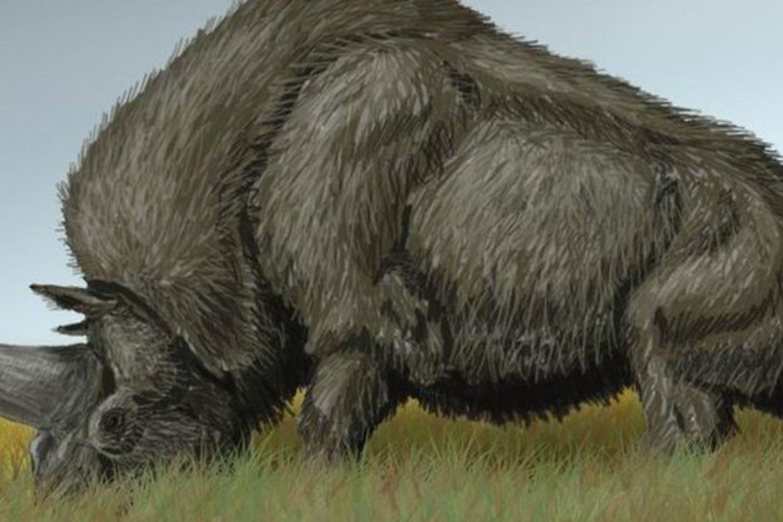 Nesenai pirmą kartą buvo išanalizuotas Sibiro vienaragio DNR ir taip paaiškėjo, kad dauguma faktų apie šį gyvūną buvo ne visai teisingi.<br>Wikimedia nuotr.