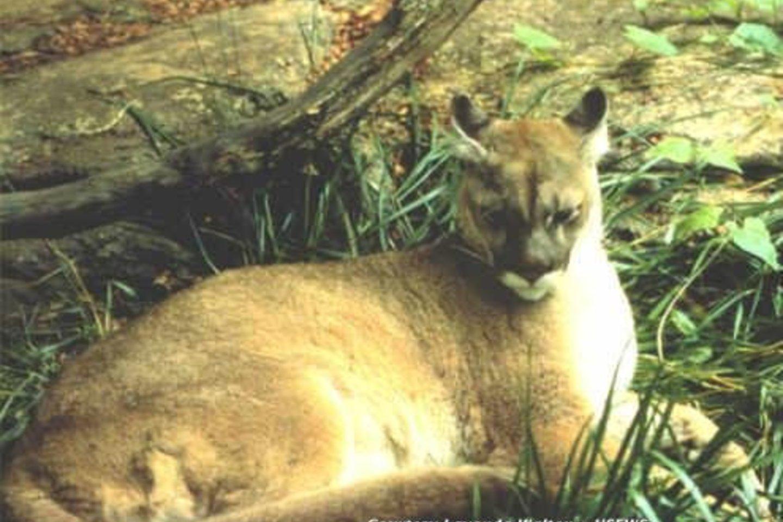 Rytų puma.<br>Wikipedia nuotr.