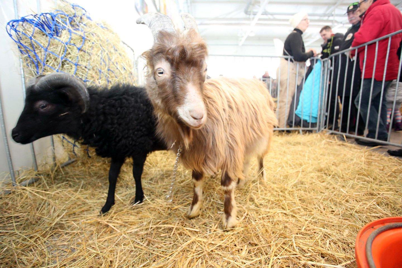 Gyvūnų parodos lankytojų laukia įvairios pramogos<br>M.Patašiaus nuotr.