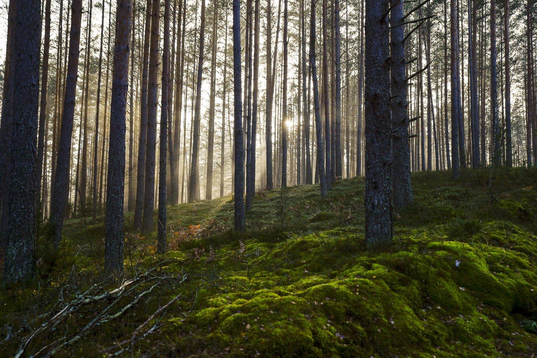 Miškas.<br>V.Ščiavinsko nuotr.