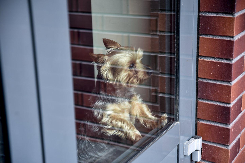 Prie namo durų svečius pasitinka Jorkšyro terjerų veislės šuo Niko.<br>V.Ščiavinsko nuotr.