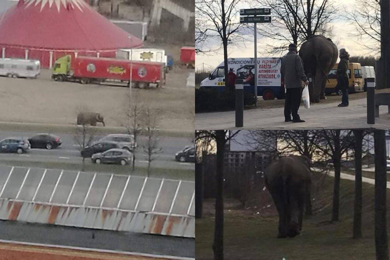 Vilniuje prie Akropolio bėgiojo iš cirko pabėgęs dramblys.<br>J. Girnio/O. Korsak nuotr.