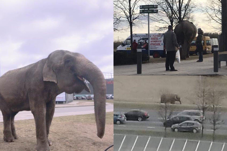 Vilniuje prie Akropolio bėgiojo iš cirko pabėgęs dramblys.<br>lrytas.lt skaitytojų nuotr.
