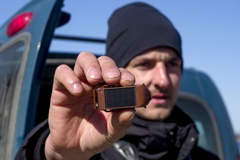 Ornitologas V. Eigirdas rodo GPS siųstuvą, kuris tvirtinamas prie paukščio kūno.<br>V. Ščiavinsko nuotr.