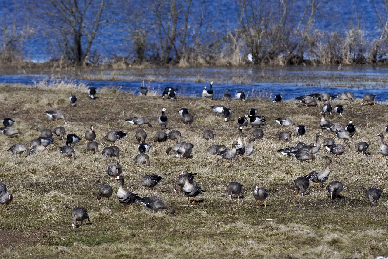 Nemuno deltoje būriuojasi paukščiai.<br>V. Ščiavinsko nuotr.