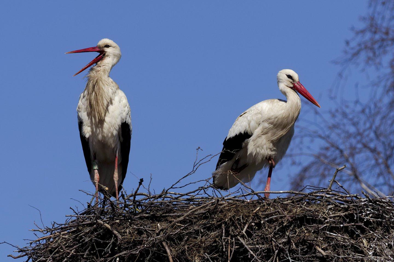 Ši pora gandrų iš žiemavietės Afrikoje grįžo į tą patį lizdą Ventėje, nors migravo ir žiemojo atskirai.<br>V. Ščiavinsko nuotr.