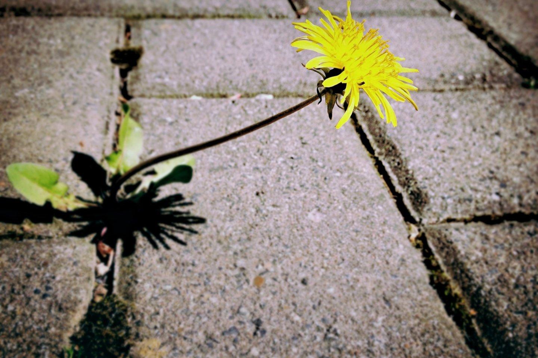 Kartais atrodo, kad kova su piktžolėmis beprasmė, o sunaikinus vienas piktžoles išsyk atsiranda kitos.<br>pixabay.com nuotr.