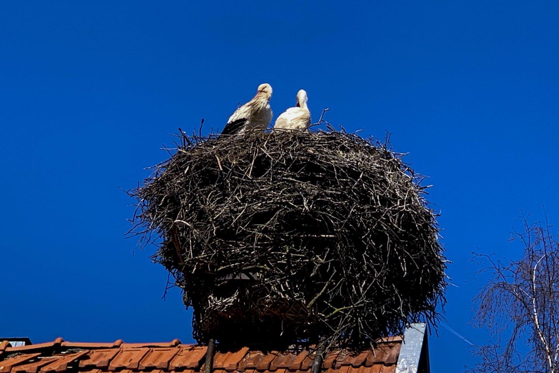 Ornitologai Palangoje iš viso tėra suskaičiavę vos 7 gandralizdžius.<br>V.Ščiavinsko nuotr.