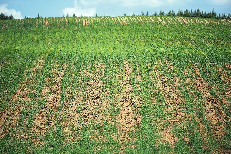 Pasėlių laukuose kiekvieną dieną plečiasi geltonos dėmės, todėl derliaus jau vargu ar bus galima tikėtis. Be to, kai kam teks išparduoti ir galvijus, nes šiais metais stinga šienui tinkamos žolės.<br>D.Umbraso nuotr.