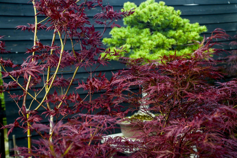 Gražina Maštaraitė sužurnalistais pasidalijo naudingais patarimais, ką reikia kasdien padaryti, kad jūsų bonsai medelis gyvuotų šimtus metų.<br>V.Ščiavinsko nuotr.