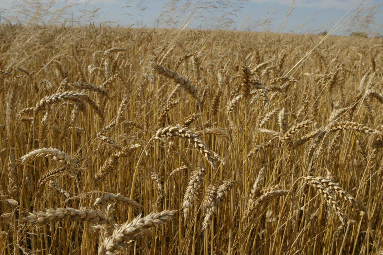 Šio mėnesio pradžioje kiek padidėjo kviečių supirkimo kaina, o pašarinių miežių ir kukurūzų – sumažėjo, praneša Žemės ūkio informacijos ir kaimo verslo centras.<br>S.Bagdonavičiaus nuotr.