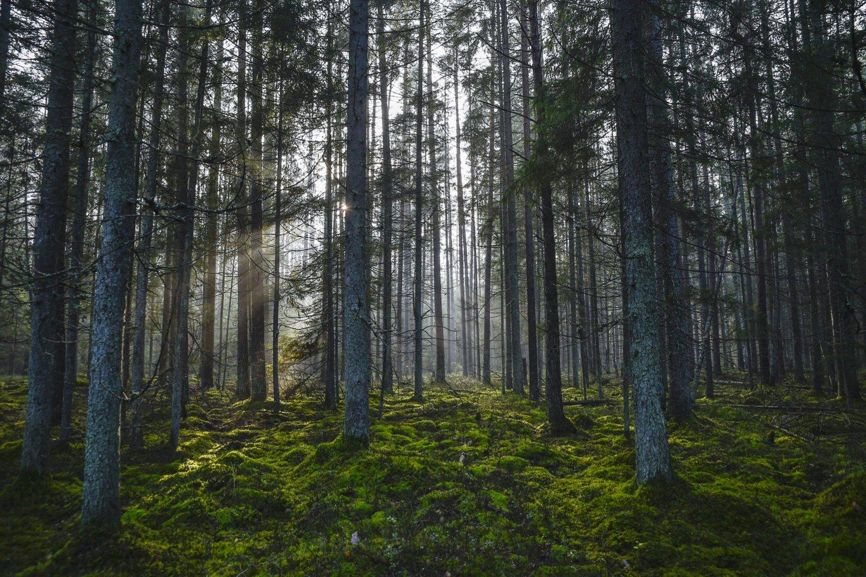 Vyriausybė neatšauks nutarimo dėl pernai patvirtintos miškų kirtimų normos.<br>V.Ščiavinsko nuotr.