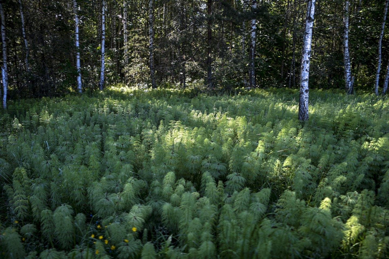 """Nuo rugsėjo 2-osios pradedamos rinkti paraiškos pagal Lietuvos kaimo plėtros 2014-2020 metų programos (KPP) priemonės """"Investicijos į miško plotų plėtrą ir miškų gyvybingumo gerinimą"""" veiklos sritį """"Miško veisimas"""".<br>V.Ščiavinsko nuotr."""