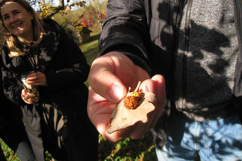 Ant sausų ąžuolo lapų – tanino pūslelės. Iš jo gaminamas tvariausias rašalas.<br>M.Augulytės nuotr.