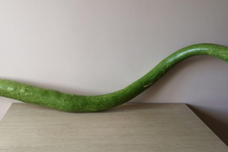 Šlapaberžėje užaugo įspūdingo ilgio cukinija.<br>Onutės Miliukienės nuotr.
