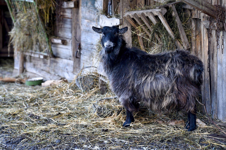 M.Pelėdienės ūkyje yra ir ožkų.<br>V.Ščiavinsko nuotr.